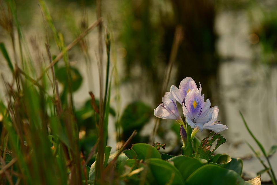 Hyacinth, Lilac Flower, Aquatic, Pond, Swamp, Flora