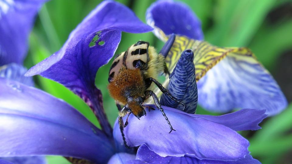 Swamp Lily, Brush Beetle, Banded Brush Beetle