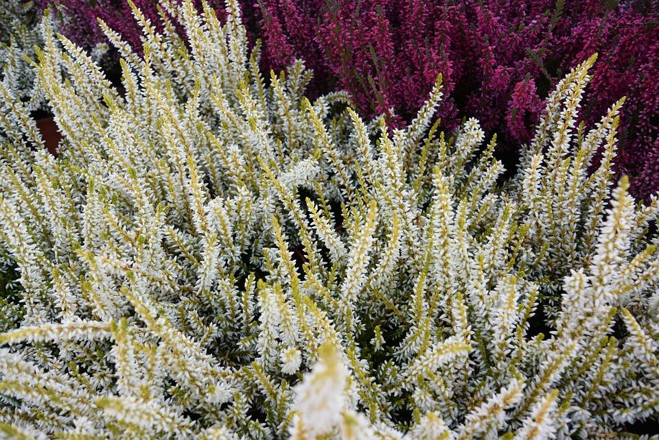 Heather, Swamp, Flower, Heathers, Nature, Heather Pink