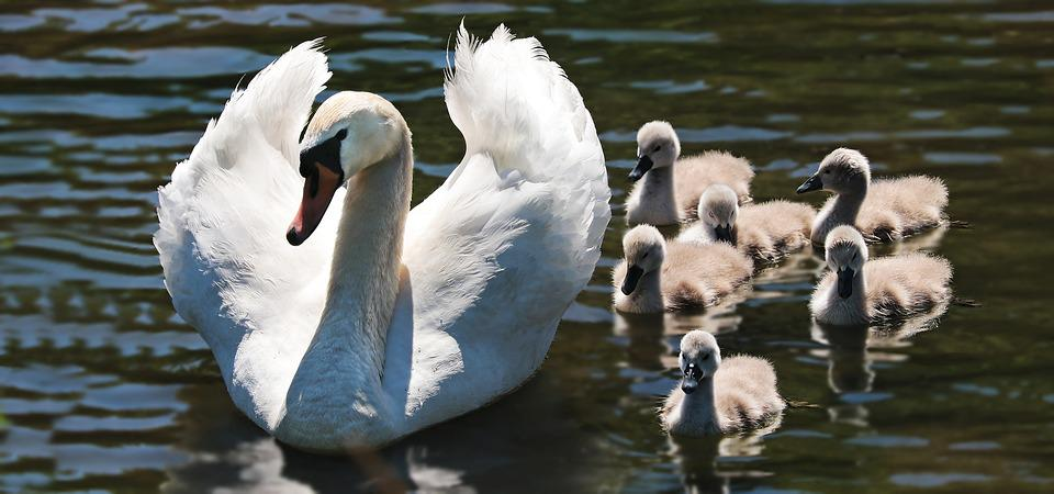 Swan, Swan Babies, Baby Swans, Swan Family, Lake