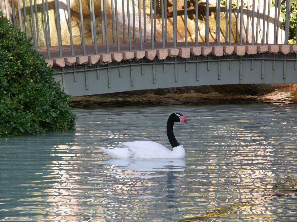Bird, Swan, Water