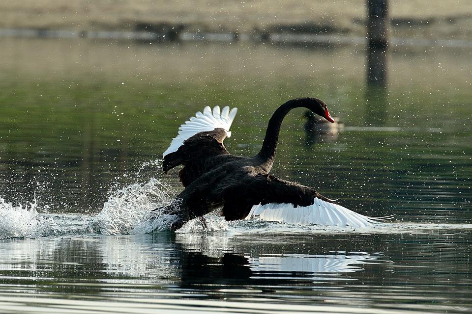 Swan, Nero, Waters, Bird