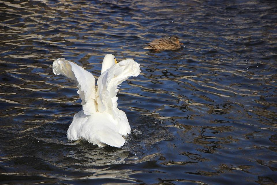 Bird, Water Bird, Swan, White Swan, Pond, Beijing