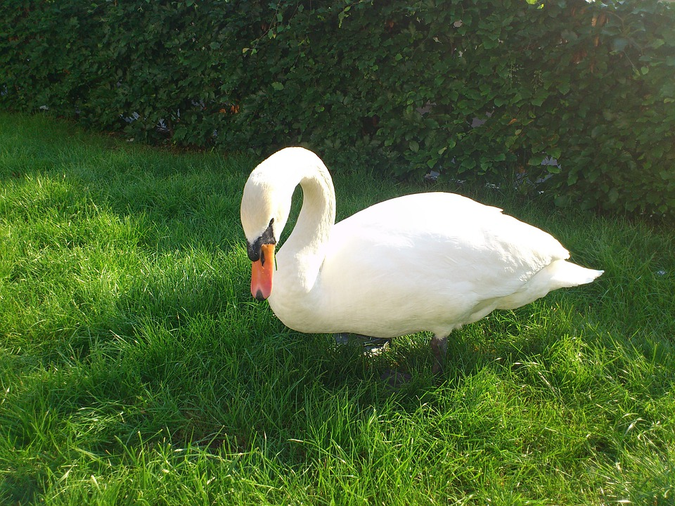 Swan, Bird, Animals, Birds, Meadow