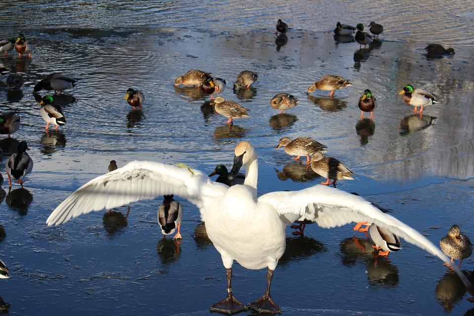 Winter, Swan, Nature, Lake, Birds