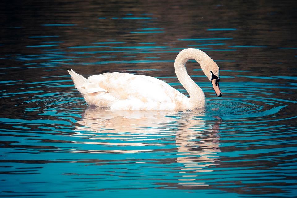 Swan, Bird, Blue, Chocolate, Water, Pond, Lake, Nature