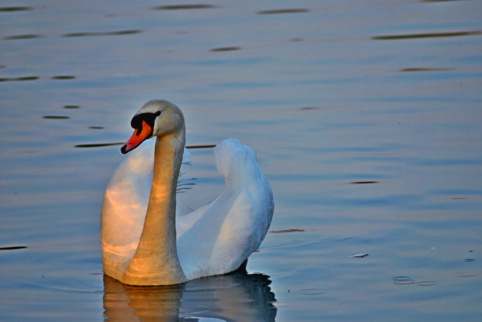 Swan, Cygnus Atratus, Bird, Fly, Wings, Feather