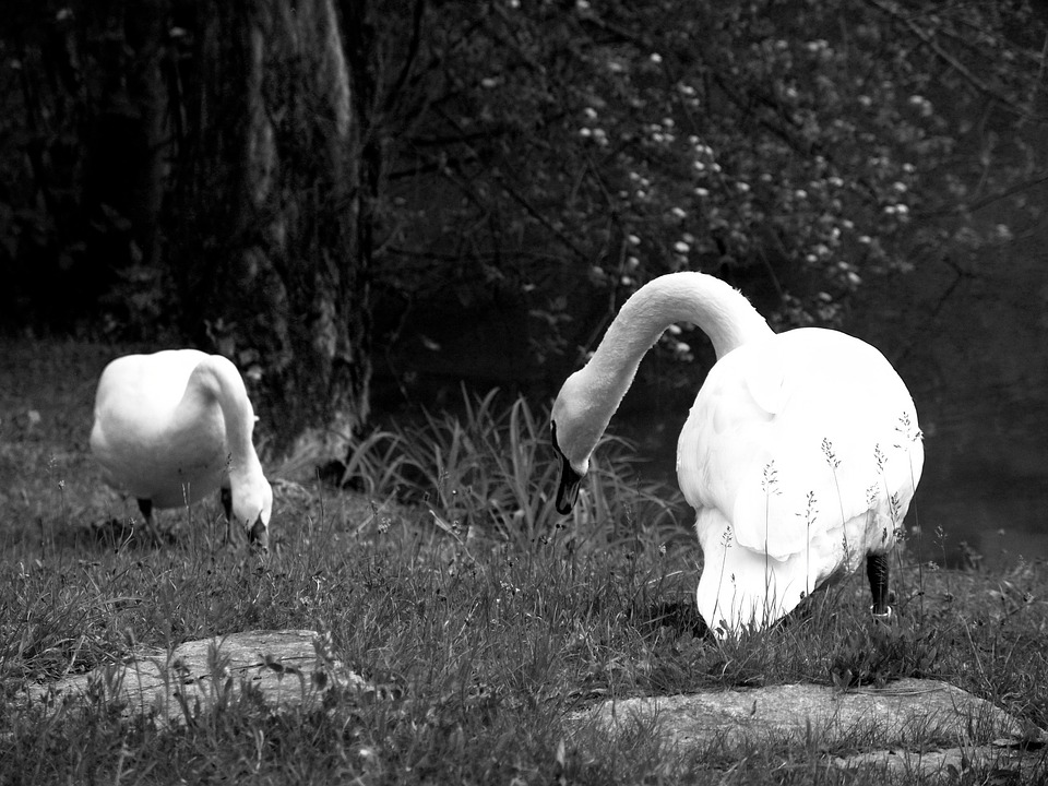 Swan, Poultry, Swans, Animal, Water Bird, Duck Bird