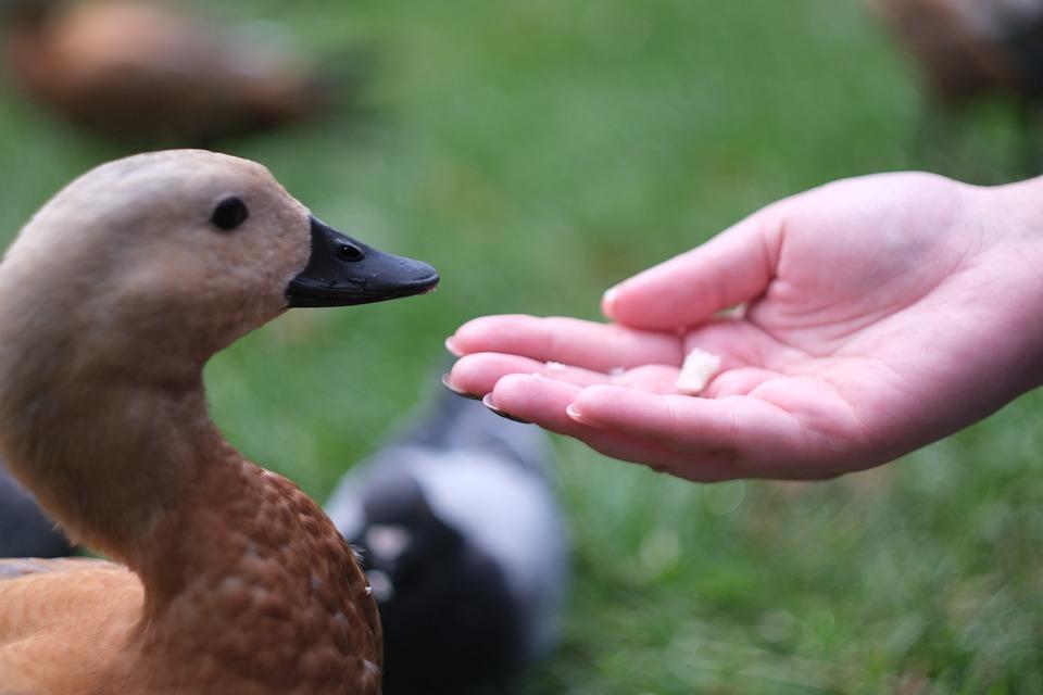 Duck, Bird, Nature, Animal, Swan, Mallard, Ducklings
