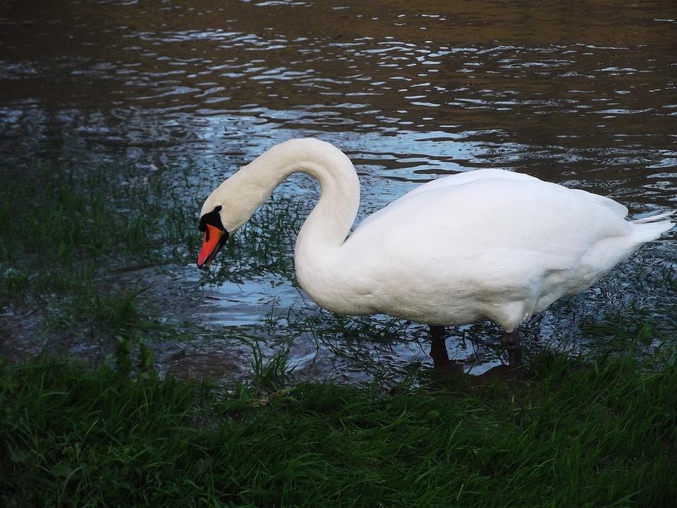 Swan, Swans, Animal, Water Bird, Gooseneck, Waters