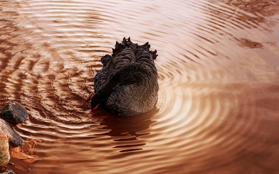 Swan, Lake, Mourning Swan, Water Bird, Black Swan, Bank