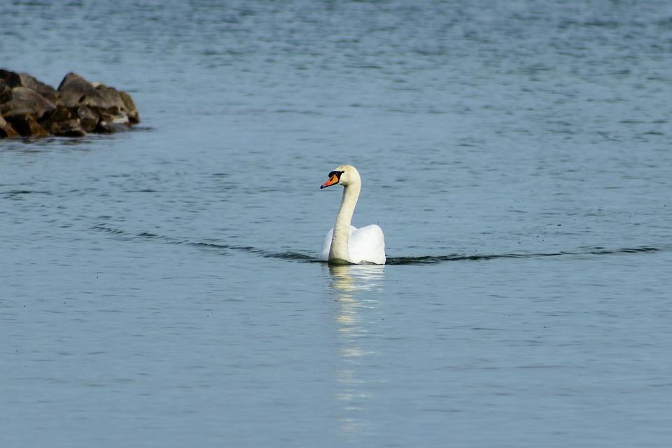 Swan, Mute Swan, Bird, White, Swim, Lake, Plumage, Wing