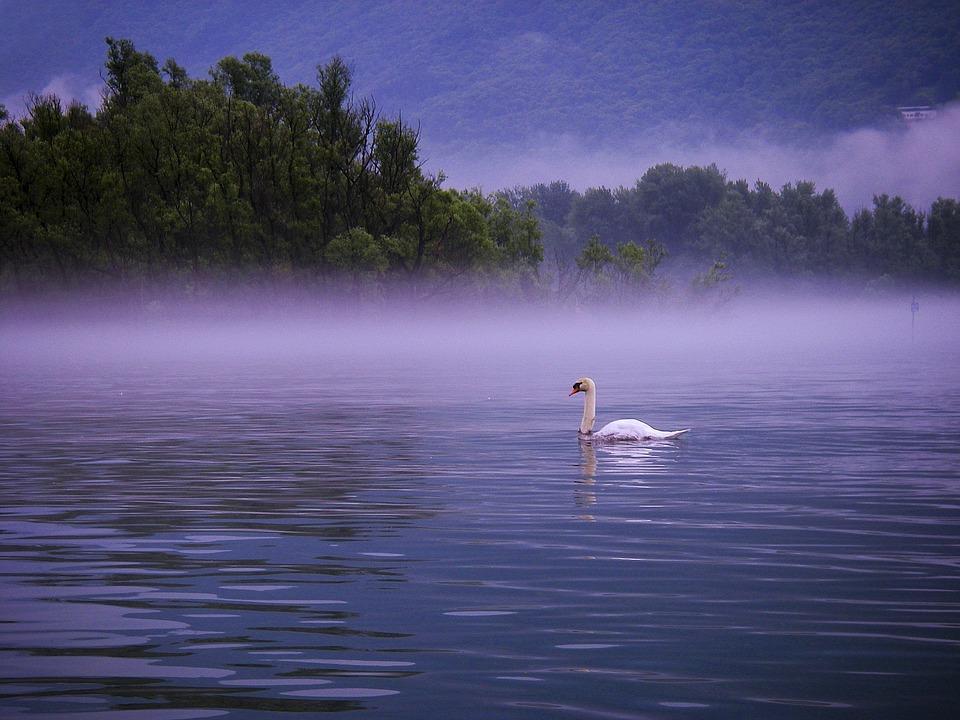 Swan, Lake, Lago Maggiore, Morning, Fog, Bank, Lakeside