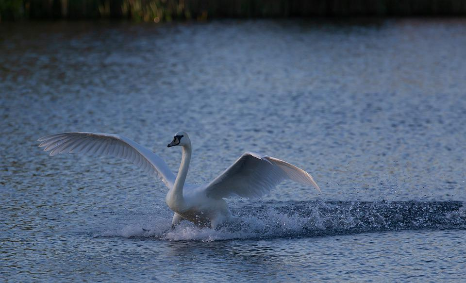 Swan Landing In Water, Swan, Sunrise, Riverbank