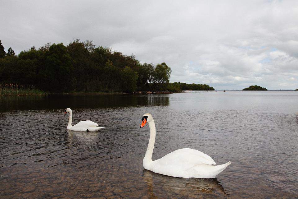 Swan, Lake, Landscape, Natural Life, Nature