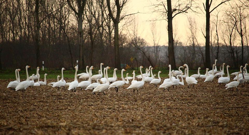 Swan, Swans, Field, Arable, Migratory Bird