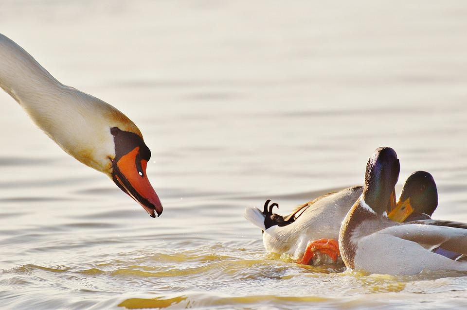 Ducks, Pair, Swan, Feather, Couple, Nature, Plumage