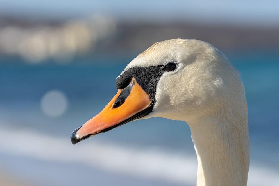Spring, Swan, Nature, Lake, Water, Swans, Feather, Bird