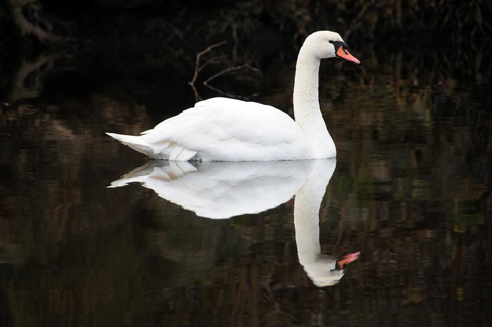 Swan, Noble, Water