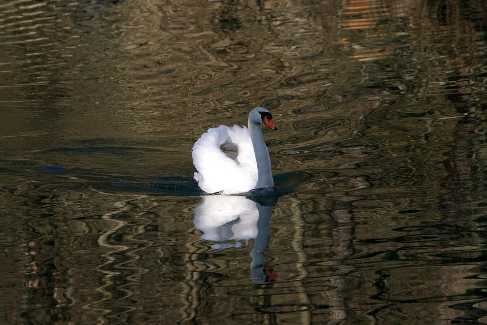 Swan In The Altmühl, Water, Animal, Swan, Waters