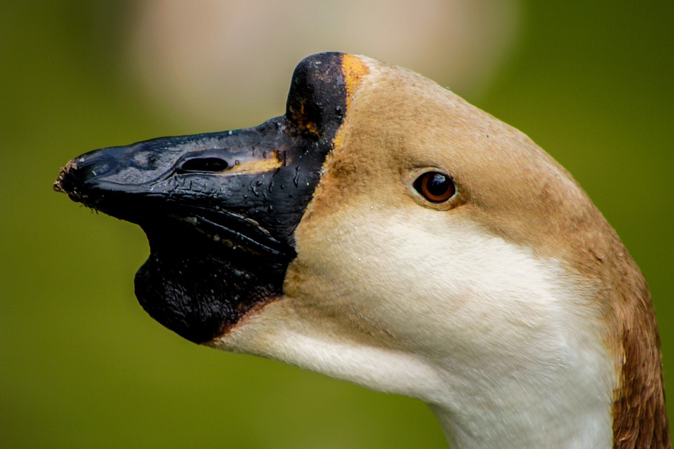 Swan, Bird, The Head Of The, Closeup, The Nose