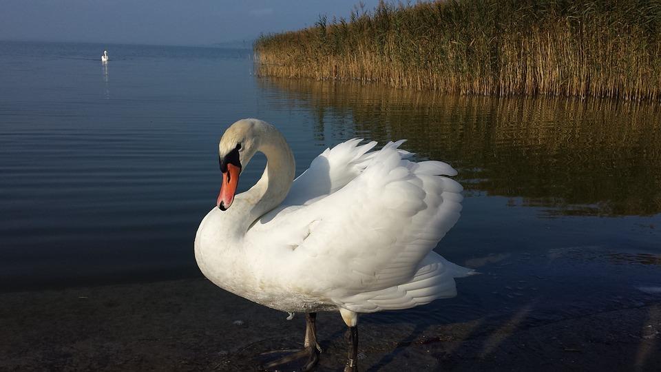 Swan, Bird, White, Elegant, Feather, Water Bird, Water