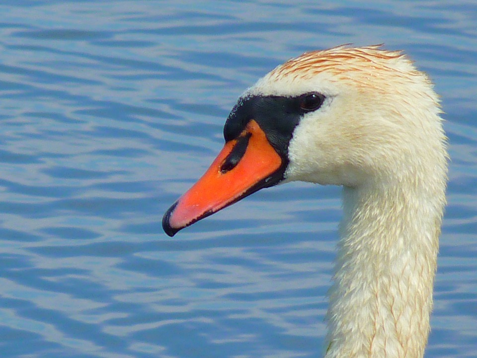 Swan, Water Bird, Head, Water