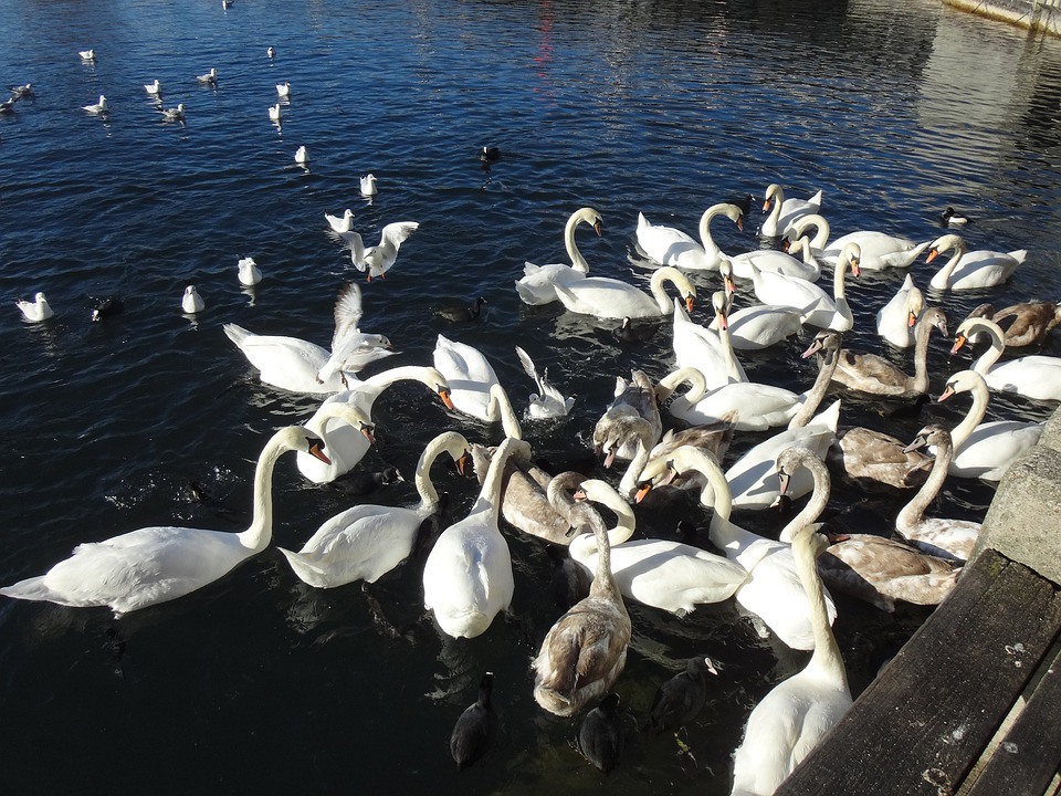 Swan, Swans, Swan Lake, Lake Zurich, Water, White, Blue