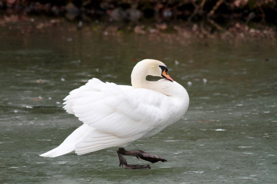 Waters, Bird, Nature, Animal World, Feather, Swan