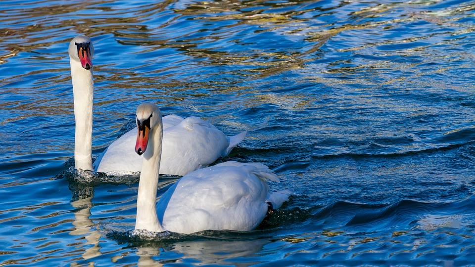 Swan, Swans, Animal World, Waters, Nature, Bird, Lake