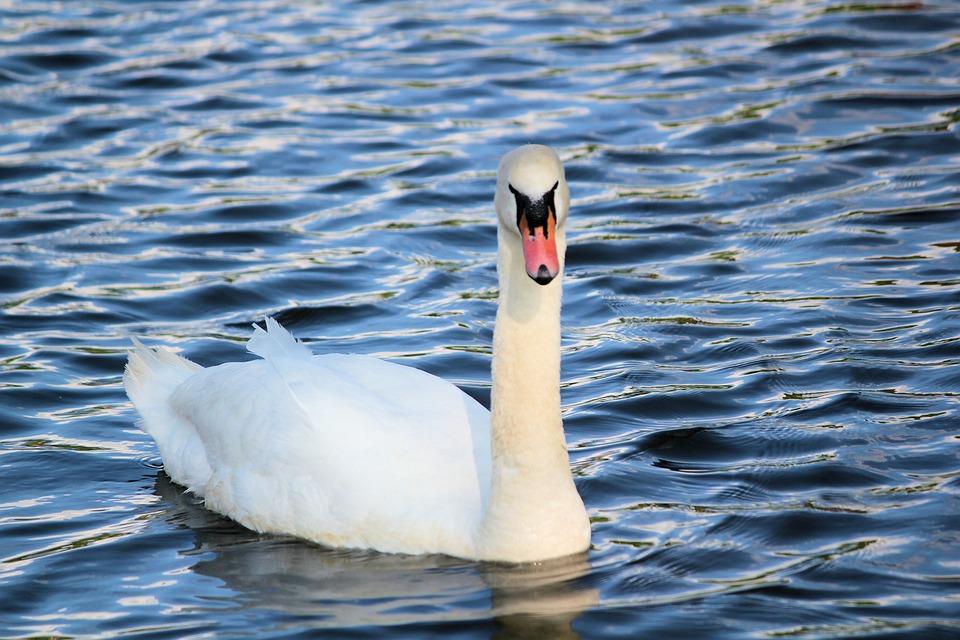 Swan, Bird, Noble, White, Water, Lake