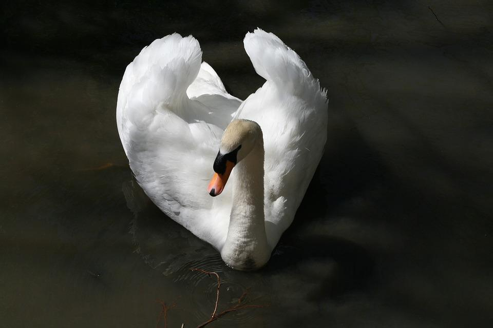 Bird, Nature, Outdoors, Water, Wildlife, Swan, Purity