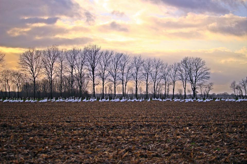 Sky, Clouds, Swans, Whooper Swan, Bird, Arable, Field