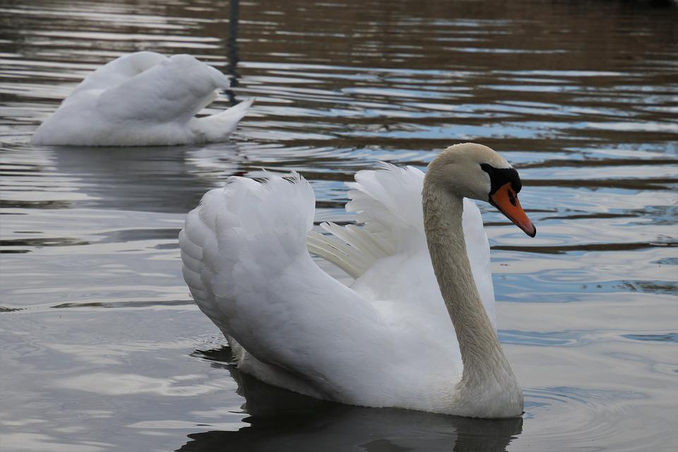 Water Surface, Para, Swans, Plumage, Swim, Head, Pen