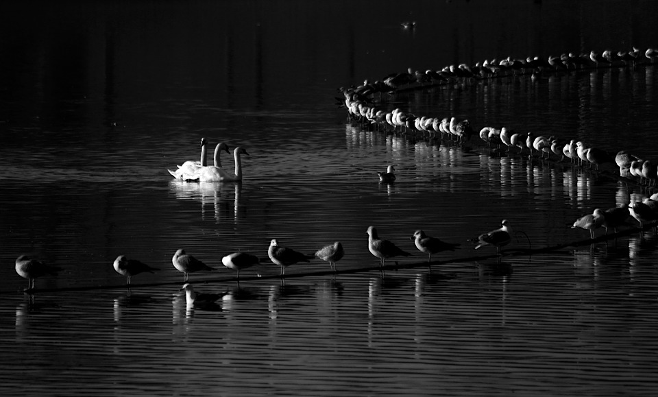 Black And White, Artistic, Swans, Lake, Water