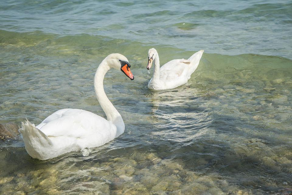 Swans, Birds, Nature, Wildlife, White, Lake Garda
