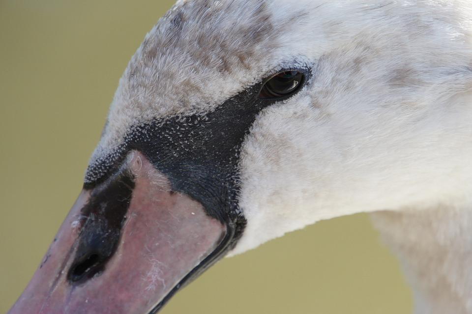 Swan, River, Water Bird, Animals, Swans, Nature