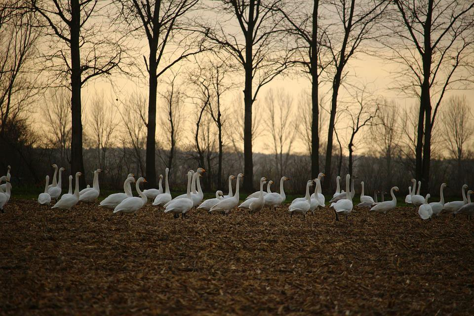 Whooper Swan, Swan, Migratory Bird, Swans, Field