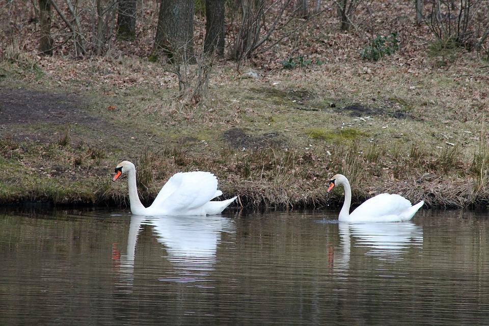 Swans, Birds, Couple, Swimming Birds, National Bird