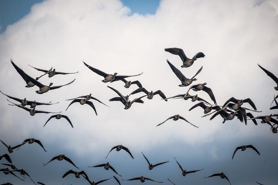 Flock Of Birds, Geese, Fly, Birds, Swarm