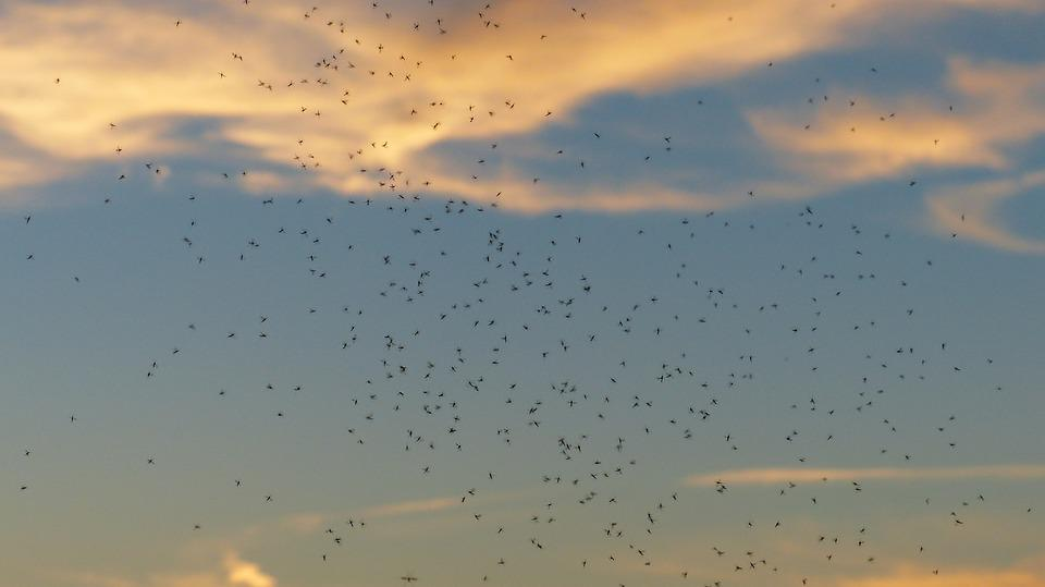 Rave, Swarming, Mosquito Swarm, Swarm, Mosquitoes