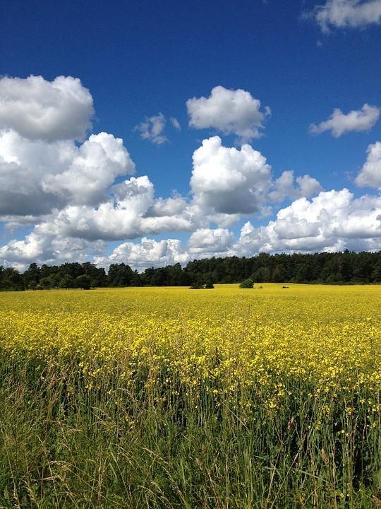 Summer, Sweden, Yellow Fields, Canola, Blue Sky, Himmel