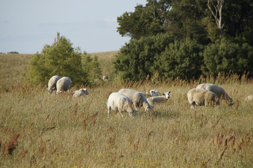 Sheep, Sheep Pasture, Graze, Meadow, Sweden