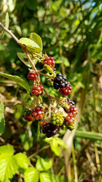 Berry, Nature, Leaf, Blueberries, Fruit, Sweet, Ripe
