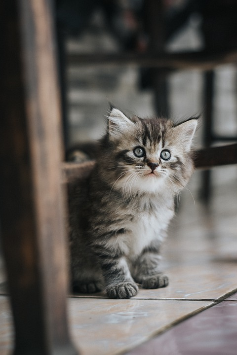 Cat, Kitten, British, Pet, Kitty, Animal, Feline, Sweet