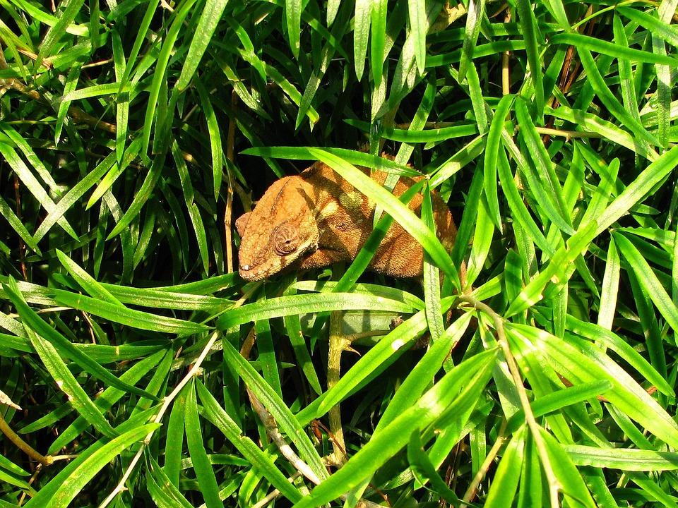 Chameleon, Reptile, Sweet