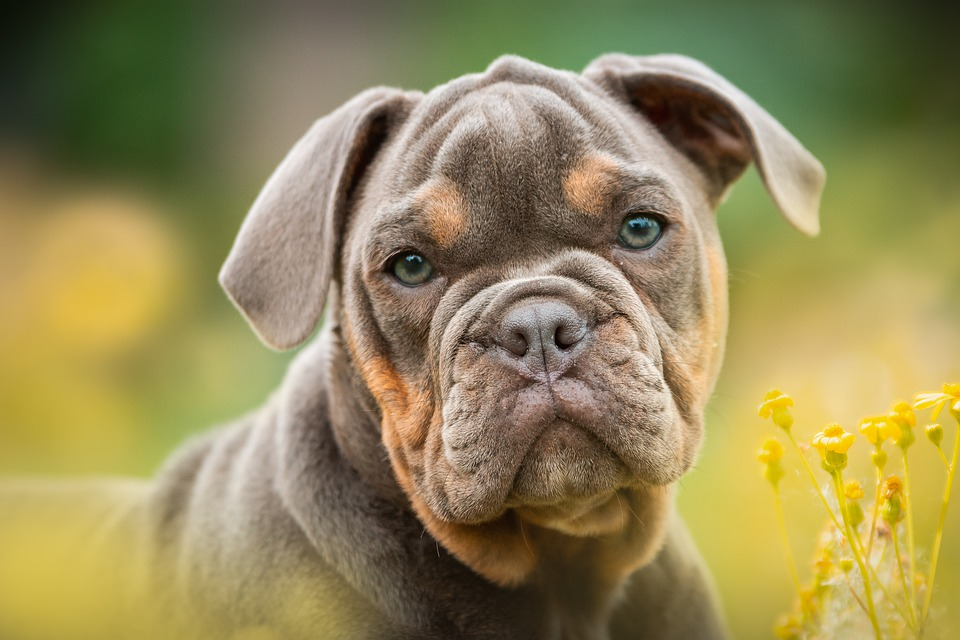 Puppy, Bulldog, Dog, Portrait, Cute, Sweet