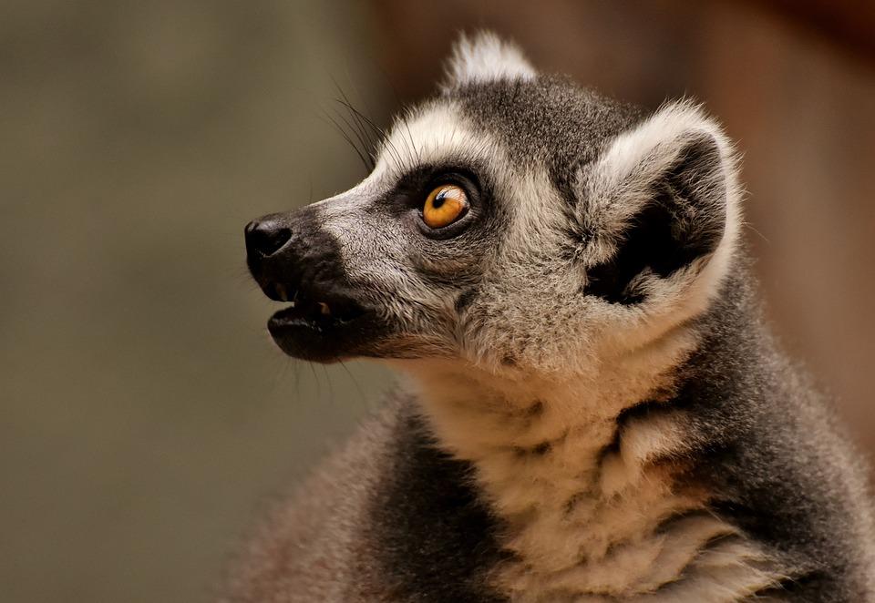 Monkey, Lemur, Cute, Zoo, äffchen, Sweet, Animal