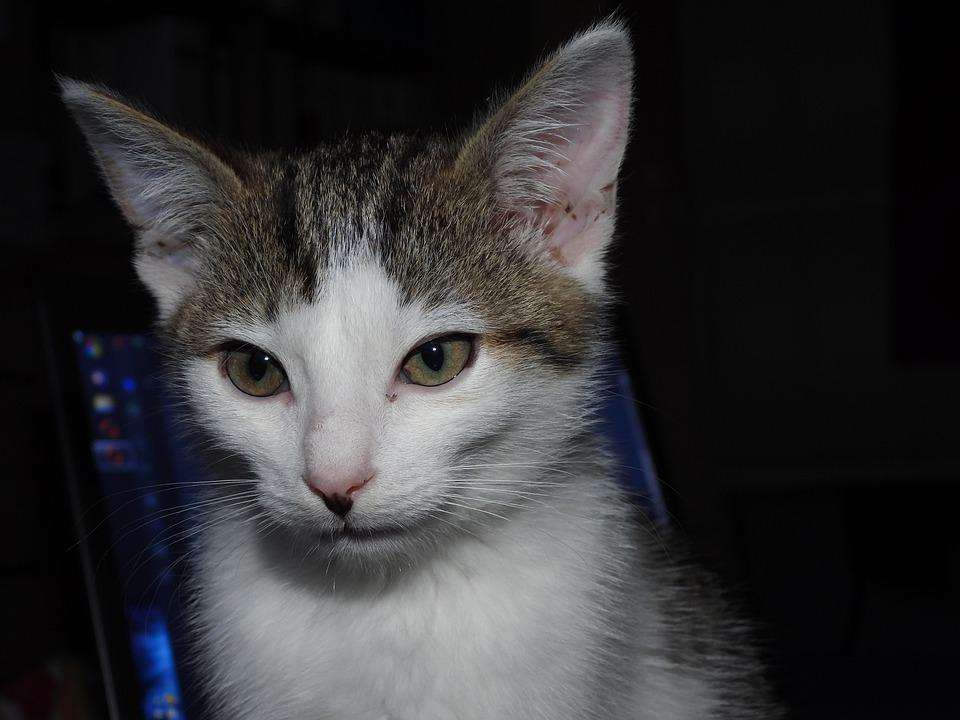 Cat, Dachowiec, Animal, Kitten, Tomcat, Animals, Sweet