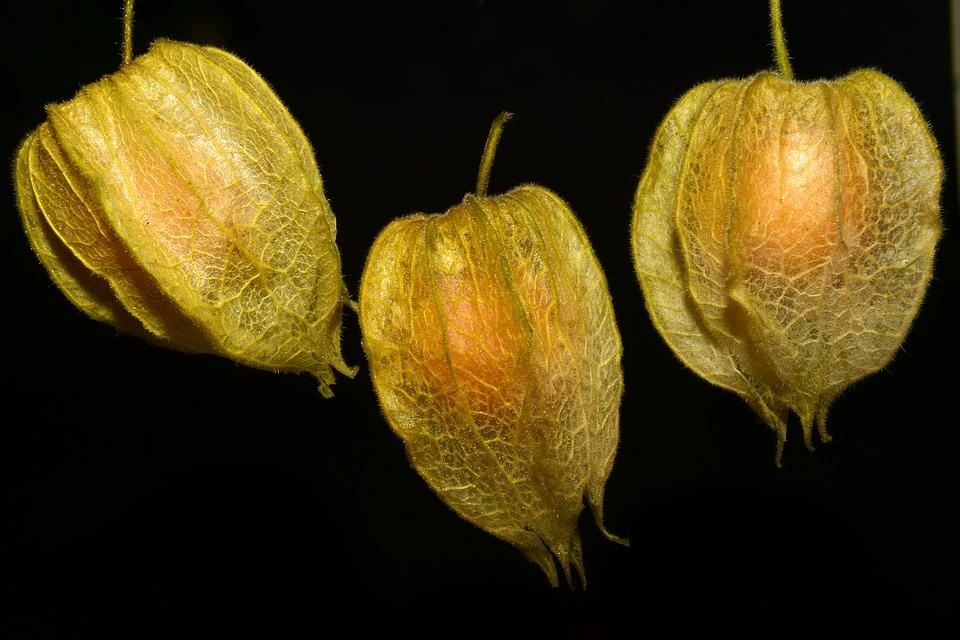 Physalis, Fruit, Delicious, Red, Sweet, Healthy, Ripe